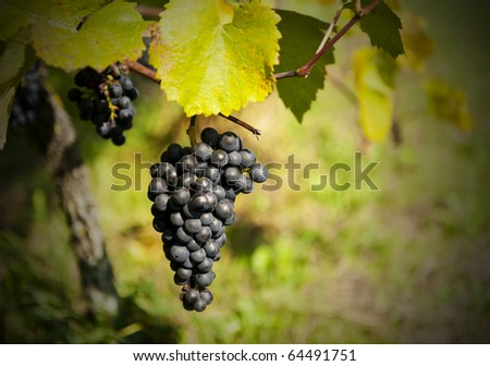 Bunch of ripe grapes in the vineyard just before the harvest. Shallow DOF - stock photo
