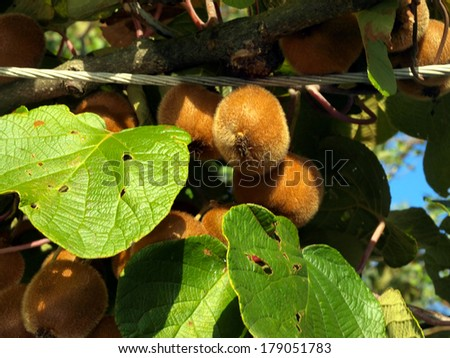 Bunch of ripe kiwi fruit on a branch. - stock photo