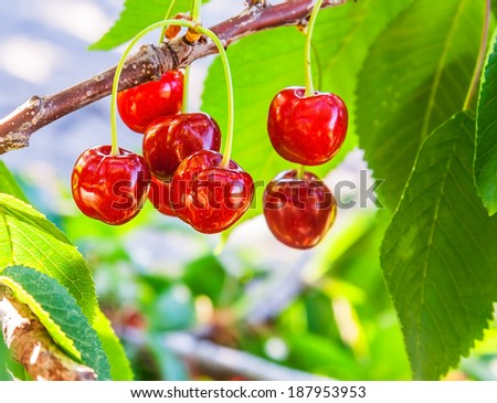 Bunch of ripe, red fruit cherries on a branch in a sunny day closeup - stock photo