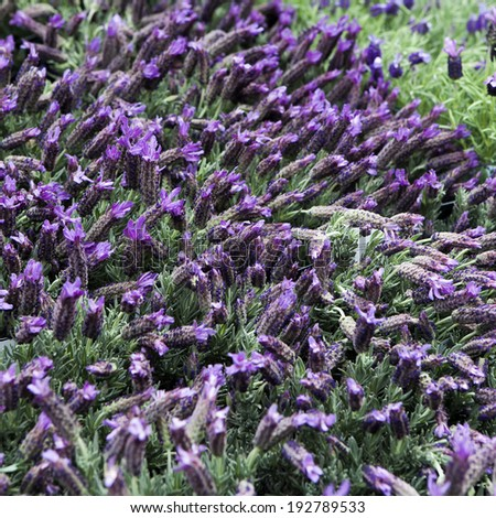 Bunch of scented flowers in the lavender fields of the French Provence near Valensole - stock photo