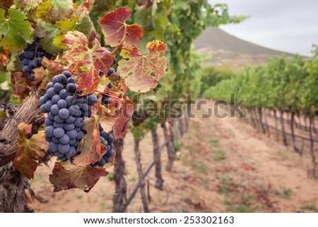 Bunch of Shiraz grapes on vine in autumn vineyard - stock photo