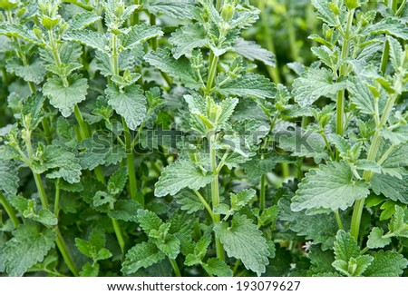 Bunch of stinging nettles - stock photo
