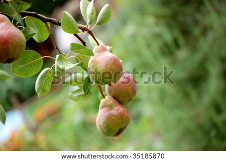 bunch of summer pears on the tree - stock photo