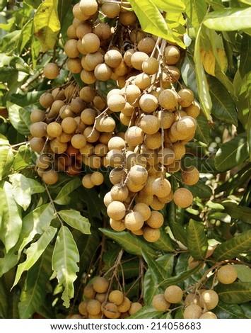 Bunch of sweet longan fruit on closeup - stock photo