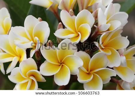 Bunch of white Frangipani flowers - stock photo