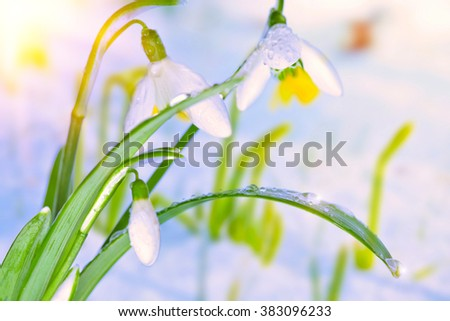Bunch of white snowdrop flowers on blurry snowy spring background with sunlight and sparks on water drops. - stock photo