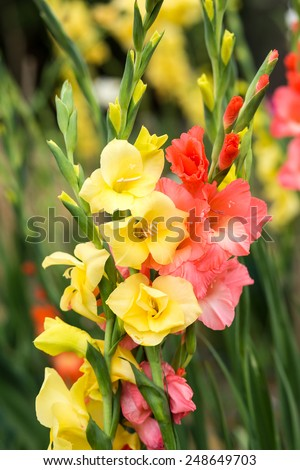 Bunch of yellow and pink Gladiolus flowers in garden - stock photo