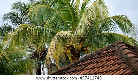 Bunch of yellow coconuts grow on a coconut tree. Beautiful photo of coconuts handing on a tree. Amazing tropical nature. Agricultural industry.   - stock photo