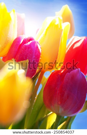 Bunch Or Bouquet Of Tulip Flowers Or Flower Meadow With Sunny Bokeh Effect And Water drops Close Up And Blue Sunny Sky - stock photo