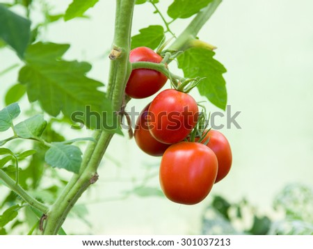 Bunch with five red tomatoes  - stock photo