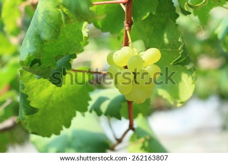 Bunche of green grapes on vine - stock photo