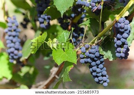 Bunches of Blue grapes at sunny day. - stock photo