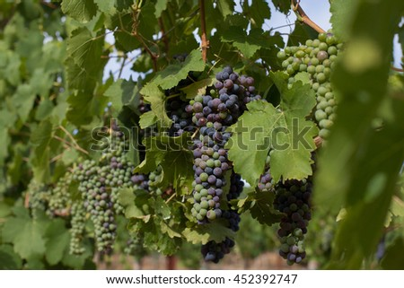 Bunches of California wine grapes changing color during veraison. Clusters of red and green grapes hang on the vine in Napa Valley. Sunlight on the grapevines, with green leaves in wine country. - stock photo