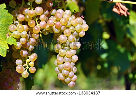 Bunches of grapes on a vine. - stock photo