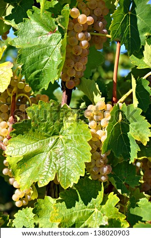 Bunches of grapes on a vine.Niagara-on -the-Lake, Ontario, Canada - stock photo