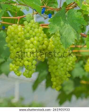 Bunches of green grapes still on the tree - stock photo