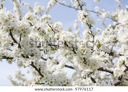 Bunches of plum blossom with white flowers against the blue sky - stock photo