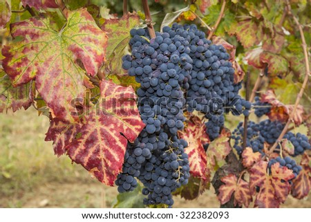 bunches of red grapes on the grapevine, red leaves - stock photo