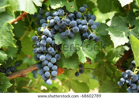 Bunches of red wine grapes in french vineyard - stock photo