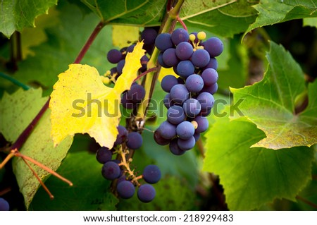 Bunches of ripe grapes on the vine close-up. - stock photo
