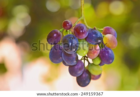 Bunches of young unripe grapes on the vine in garden - stock photo