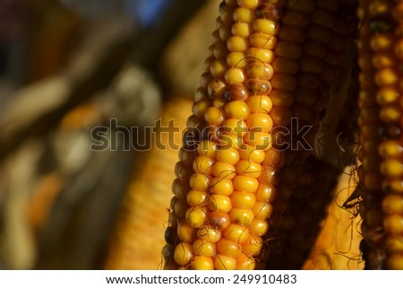 Bundle from yellow corn ears on a house wall closeup - stock photo