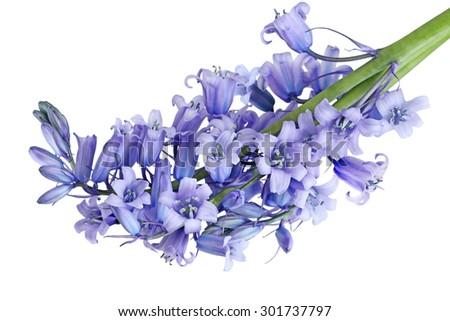 Bundle of Hyacinthoides non-scripta Bluebell flowers isolated on white background - stock photo
