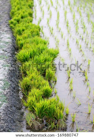 Bundle of rice seedlings beside a rural agriculture field in Bangladesh - stock photo