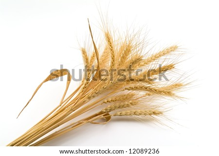 Bundle of Wheat isolated on white - stock photo