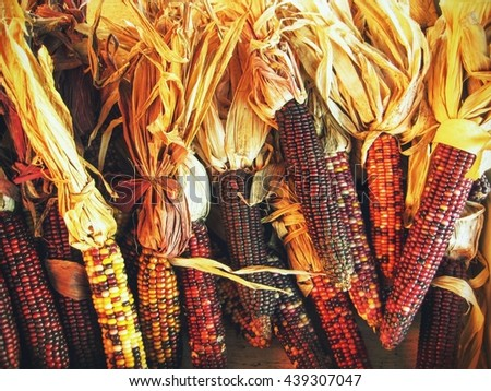 Bundles of indian corn for a fall or thanksgiving theme - stock photo