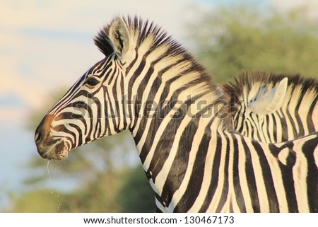 Burchell's Zebra as seen on a game ranch in Namibia - A fantastic close-up of a Mare at dusk.  The background melts into her stripes and pose. - stock photo