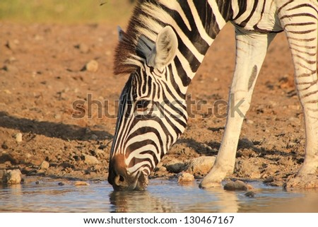 Burchell's Zebra as seen on a game ranch in Namibia - Super Striped Mare drinking water.  Nature's glory and magic never ceases to amaze me. - stock photo