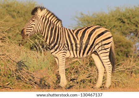 Burchell's Zebra as seen on a game ranch in Namibia - The herd Stallion looks on at dusk. - stock photo