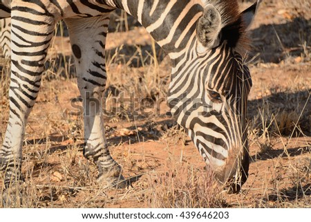 Burchellâ??s zebra grazing in the barren drought affected growth conditions  - stock photo