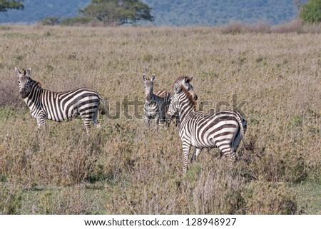 Burchell�s Zebras in profile graze on savanna pasture. Serengety National Park, Great Rift Valley, Tanzania, Africa. - stock photo
