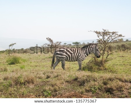 Burchell Zebra in profile against the background of savanna bush. - stock photo