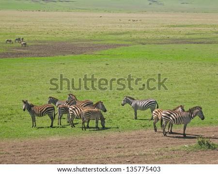 Burchell Zebras in profile graze on savanna pasture. Serengety National Park, Tanzania, Africa. - stock photo