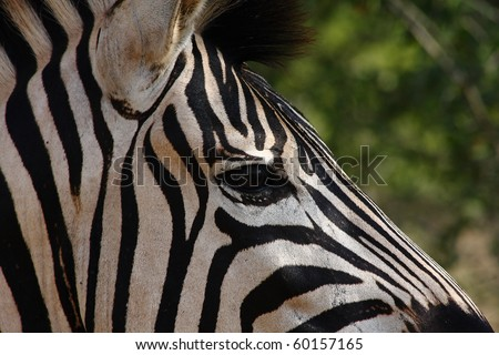 Burchells Zebra face in Hluhluwe Game Reserve South Africa - stock photo