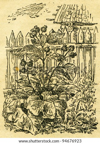 """burdock - an illustration from the book """"In the wake of Robinson Crusoe"""", Moscow, USSR, 1946. Artist Petr Pastukhov - stock photo"""