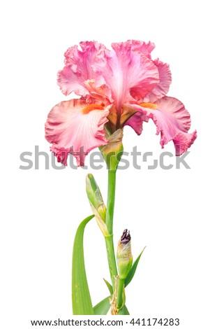 burgundy iris flower in bloom, isolated background - stock photo