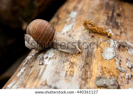 Burgundy snail Roman snail, edible snail, escargot) crawling on its road. Close up view of big snail on the trunk of old tree. Mold growing on the old tree trunk. - stock photo