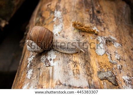 Burgundy snail (Roman snail, edible snail, escargot) crawling on its road. Close up view of big snail on the trunk of old tree. Mold growing on the old tree trunk. - stock photo