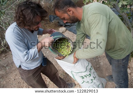 BURIN, PALESTINIAN TERRITORIES - OCTOBER 9: An international volunteer helps Palestinians pick olives on land in the West Bank village of Burin, Oct, 9, 2012. - stock photo