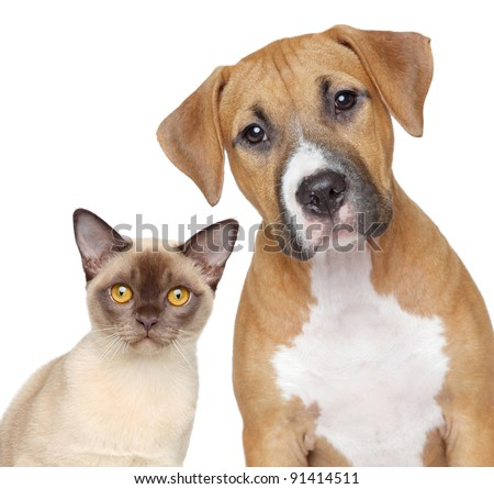 Burmese cat and Staffordshire Terrier portrait on white background - stock photo