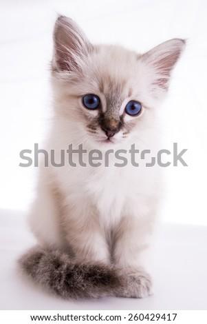 Burmese kitten on a white background isolated - stock photo