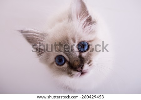 Burmese kitten on a white background isolated - stock photo