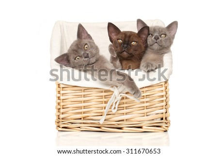Burmese kittens in basket on a white background - stock photo