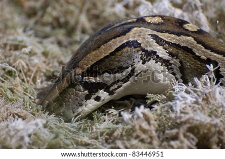 Burmese Python in the Everglades - stock photo
