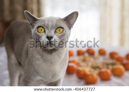 Burmese yellow eyed cat looking very frightened - stock photo