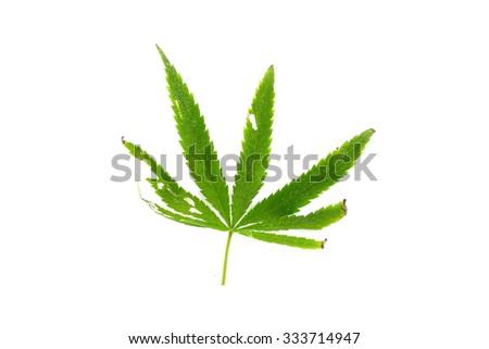 Burn green canabis leaf on white background - stock photo